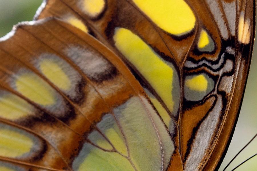Svøbt i sommerfugl